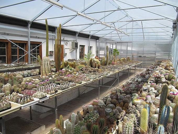 kakteen und echinopsis hybriden. Black Bedroom Furniture Sets. Home Design Ideas